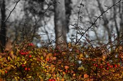 Barberry shrub with red berries. And no leaves in a park in late autumn. Black and white background Royalty Free Stock Photo
