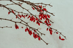 Barberry on the snow Royalty Free Stock Photos
