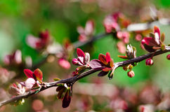 Barberry spring blossom Royalty Free Stock Photography