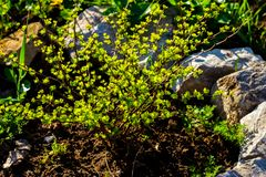 Barberry Thunberg Aurea in an open field of golden green leaves stock photo
