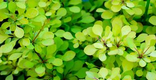 Barberry Thunberg Aurea in an open field of golden green leaves royalty free stock images