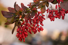 Barberry twig royalty free stock photography