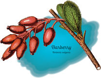 Barberry 1 Stock Image