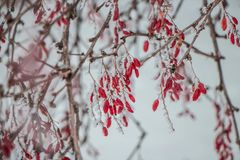 Barberry in winter day royalty free stock photography