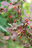 Barberry Stock Image