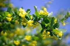 Barberry yellow flowers Stock Photo