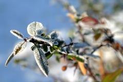 barberryfilialfrost Royaltyfria Bilder