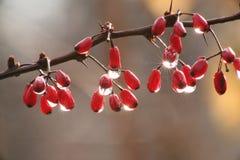 barberryregn Arkivbilder