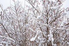 Barberryträd med bär i snön Bevarat från höstbären på trädet arkivbilder