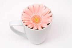 Barberton daisy Stock Photo