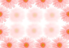 Barberton daisy background Royalty Free Stock Photography