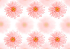 Barberton daisy background Stock Images