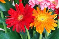 Barberton Daisy flower Stock Photography