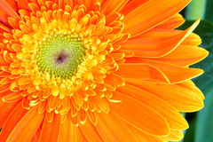 Barberton Daisy flower Royalty Free Stock Images