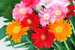 Barberton Daisy flowers Royalty Free Stock Images