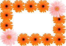 Barberton daisy frame Royalty Free Stock Images
