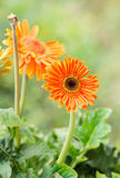 Barberton daisy gerbera Stock Photography