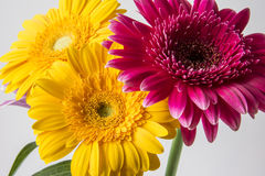 Barberton daisy (Gerbera jamesonii) Stock Images