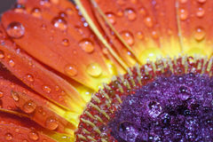 Barberton daisy(Gerbera jamesonii) Stock Image
