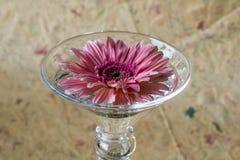 Barberton daisy(Gerbera jamesonii) Royalty Free Stock Photography
