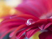 Barberton daisy,Gerbera jamesonii with water drop Royalty Free Stock Photos