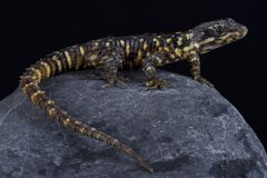 Barberton dragon lizard Smaug warreni barbertonensis. The Barberton dragon lizard Smaug warreni barbertonensis is endemic to the Barberton region, Mpumalanga Stock Photos