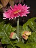 Barberton rosado brillante Daisy Gerbera Daisy Foto de archivo