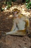 Barbery Ape, Azrou, Morocco. Barbery Ape with serious face scratching himself Royalty Free Stock Photography