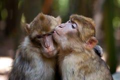 Free Barbery Apes Love Stock Photos - 58422953