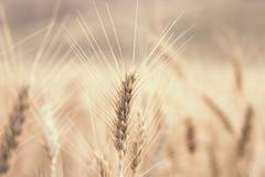 Barbes de blé photos stock