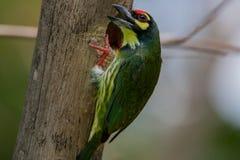 Barbet χαλκουργών, πορφυρός-barbet ή ο χαλκουργός στοκ εικόνες