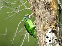 Barbet bird Stock Photo