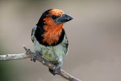 Barbet Bird Stock Image