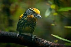 Barbet from Brazil. Gilded Barbet, Capito auratus, Ecuador. Yellow toucan from Ecuador. Bird from jungle. Beautiful bird from trop. Barbet from Brazil. Gilded Stock Photos