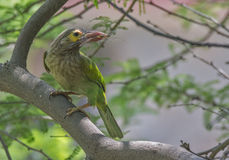 Barbet Stock Photos
