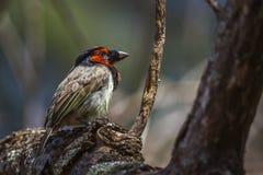 Barbet colleté noir en parc national de Kruger, Afrique du Sud photo stock