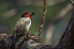 Barbet colleté noir en parc national de Kruger, Afrique du Sud photos libres de droits