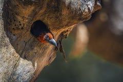 Barbet colleté noir en parc national de Kruger, Afrique du Sud images stock