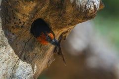 Barbet colleté noir en parc national de Kruger, Afrique du Sud photos stock