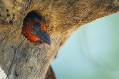 Barbet colleté noir en parc national de Kruger, Afrique du Sud photographie stock libre de droits