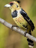 Barbet crestato Fotografia Stock