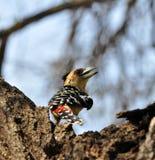 Barbet crestato (vaillantii di Trachyphonus) Fotografia Stock Libera da Diritti