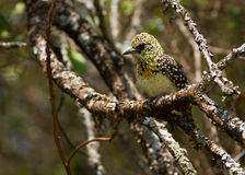 Barbet D'Arnaud (darnaudii Trachyphonus), ένα όμορφο πουλί που βρίσκεται στην Τανζανία Στοκ Εικόνα