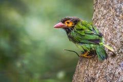 barbet dalla testa Brown nel parco nazionale di Minneriya, Sri Lanka Immagine Stock Libera da Diritti