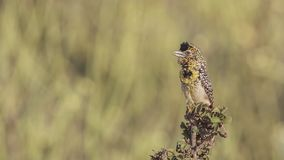 "Barbet de D ""Arnaud sur le bosquet photo libre de droits"