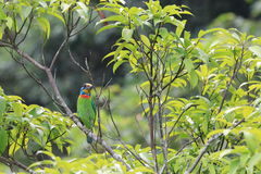 Barbet do Muller Imagem de Stock Royalty Free