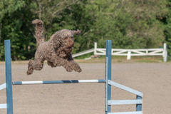 Barbet jumps over an agility hurdle Stock Image