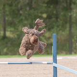 Barbet jumps over an agility hurdle Stock Photos
