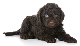 Barbet puppy Royalty Free Stock Image