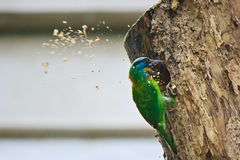 The Barbet Spraying Sawdusts Royalty Free Stock Photos